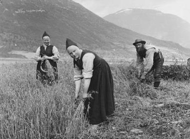 Harvesting of oats in Jølster