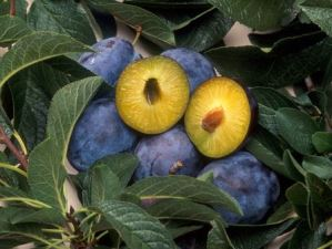 genetically engineered plums